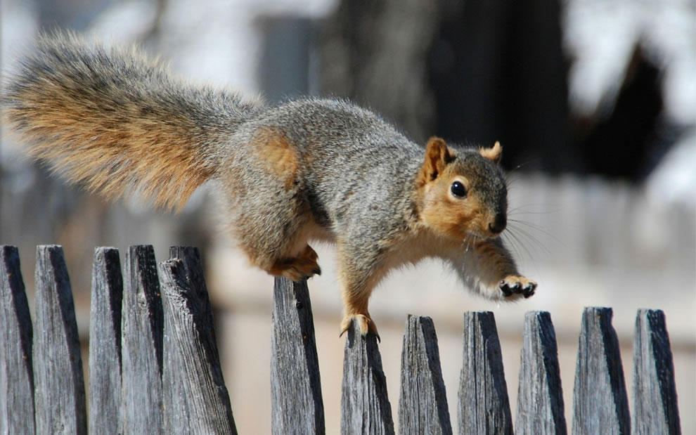 squirrel fence walker