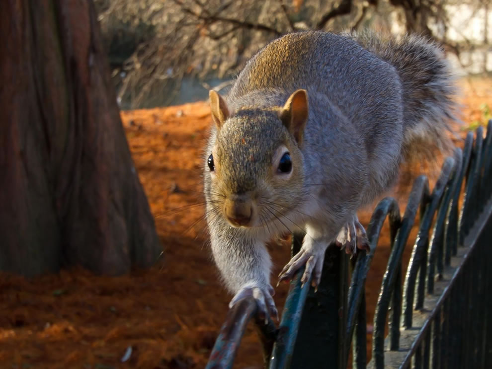 squirrel walking the line