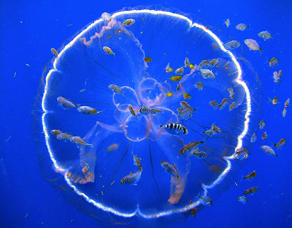 A flotilla of fish follow a transparent drifting jellyfish, Aurelia aurita