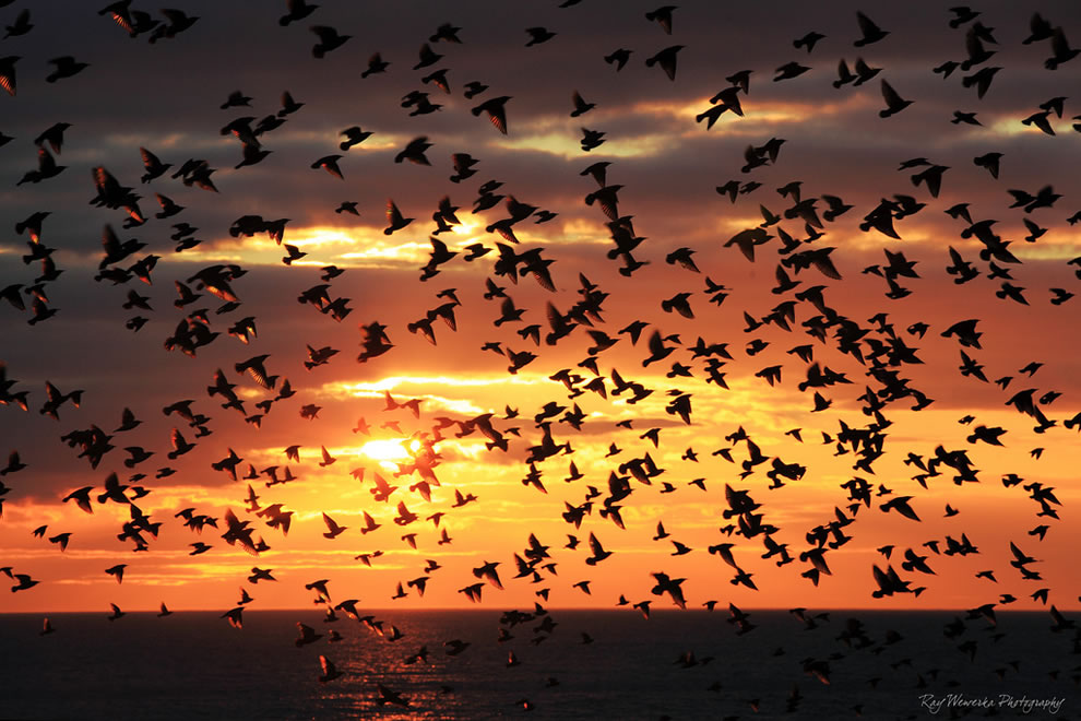 A small segment of a spectacular fly by of thousands of starlings at Brighton pier