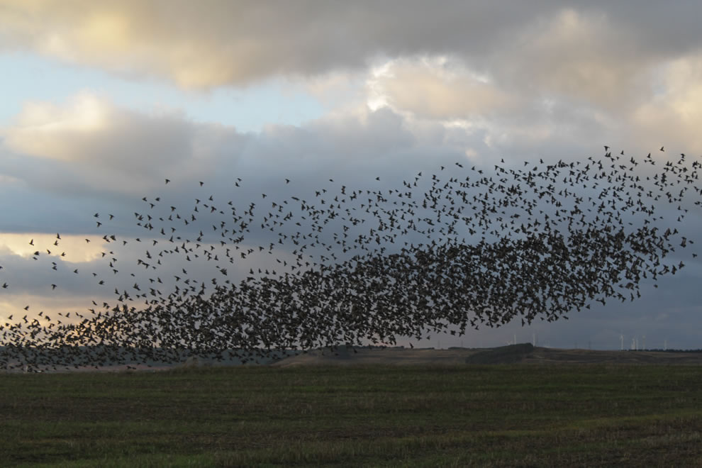 Flock of starlings in Burgos
