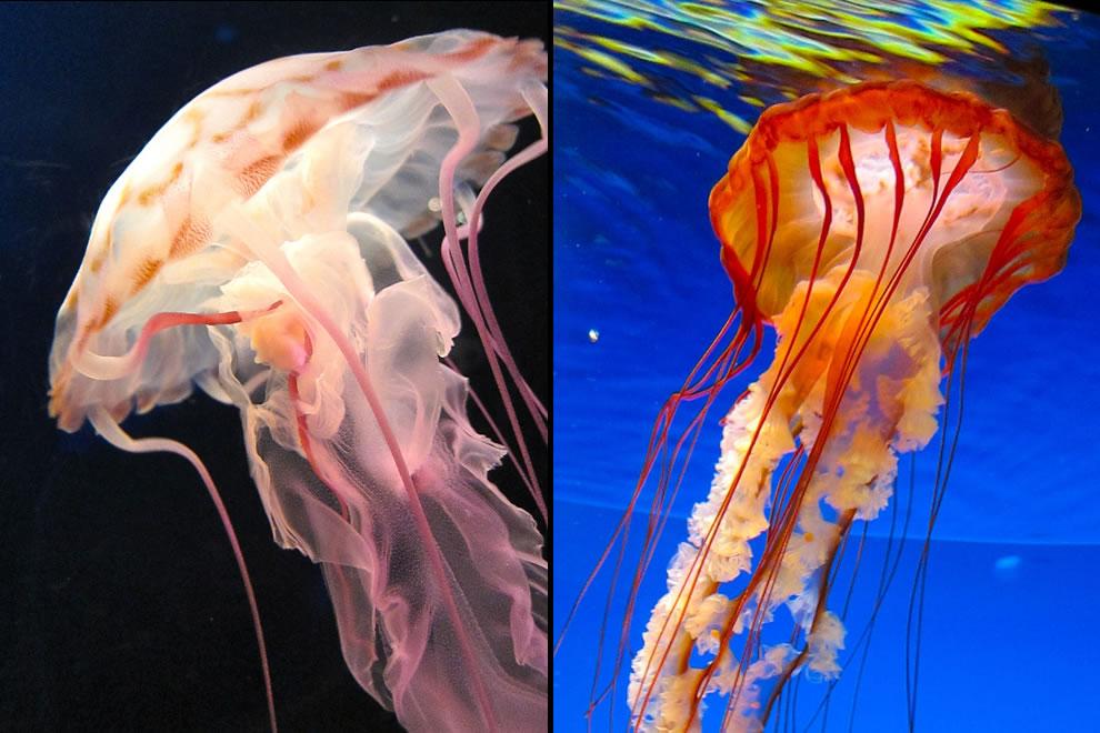 Jellyfish at the Osaka Aquarium