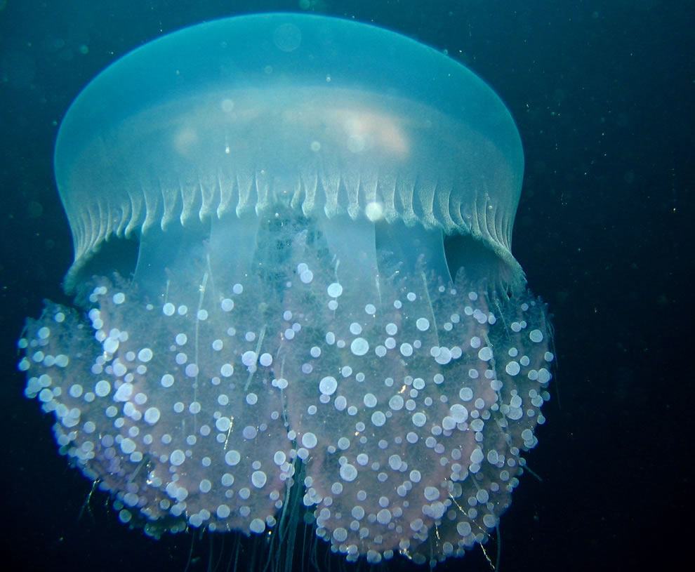 Jellyfish. Federated States of Micronesia, Chuuk