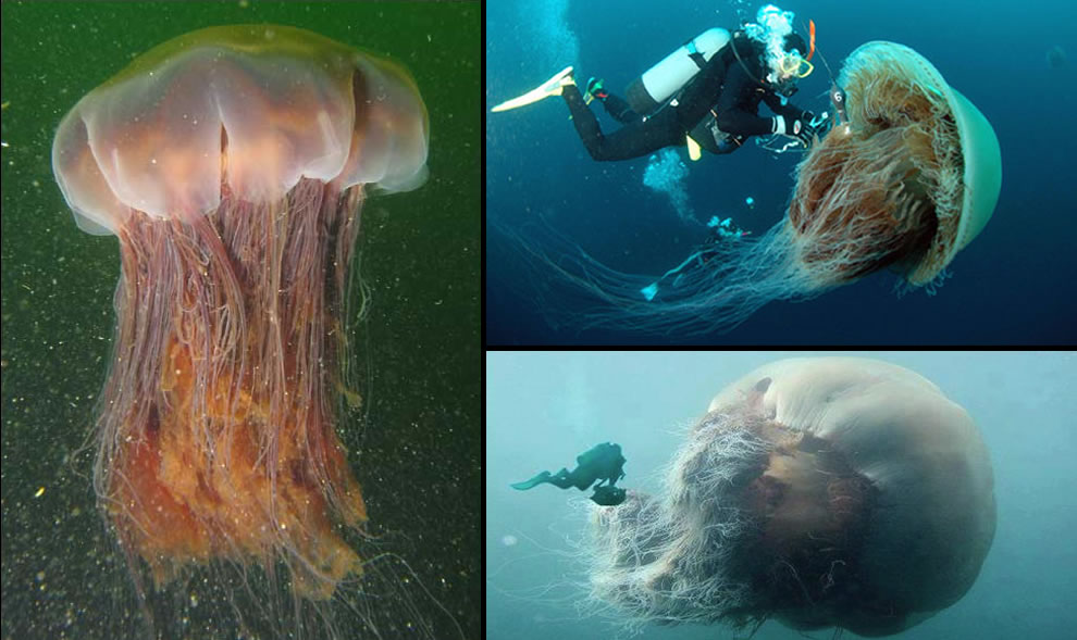 Lions-mane jelly and massive Nomuras Jellyfish
