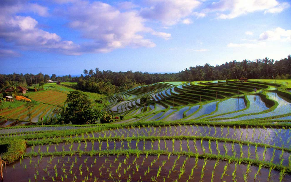 Rice terrace in Bali near temple