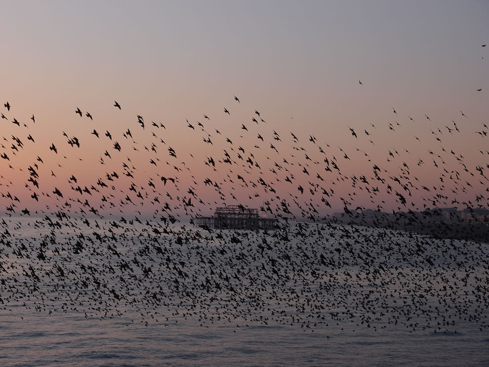 Sunset starling murmuration at Brighton West Pier