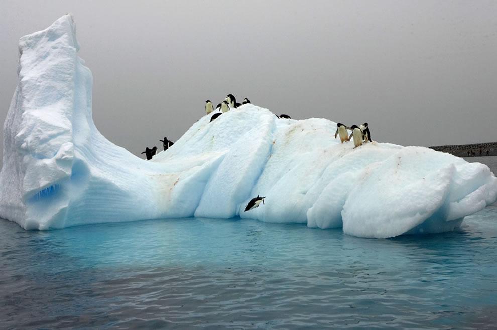 Adelie Penguin Dive on Paulet Island, Antarctica