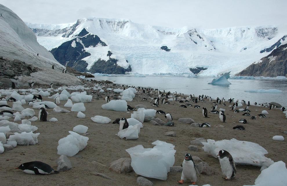 Antarctica- Emperor penguins at Neko Harbour