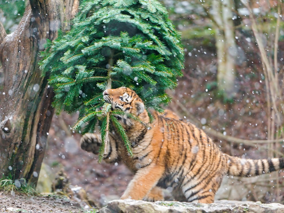 Tiger Biting the fir!
