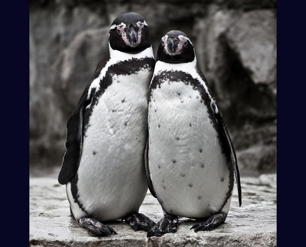 Cute Humboldt penguin couple