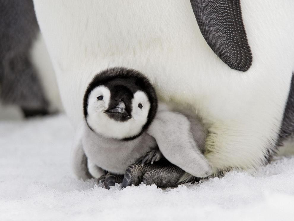 Emperor Penguin Chick, Snow Hill Island, Antarctica