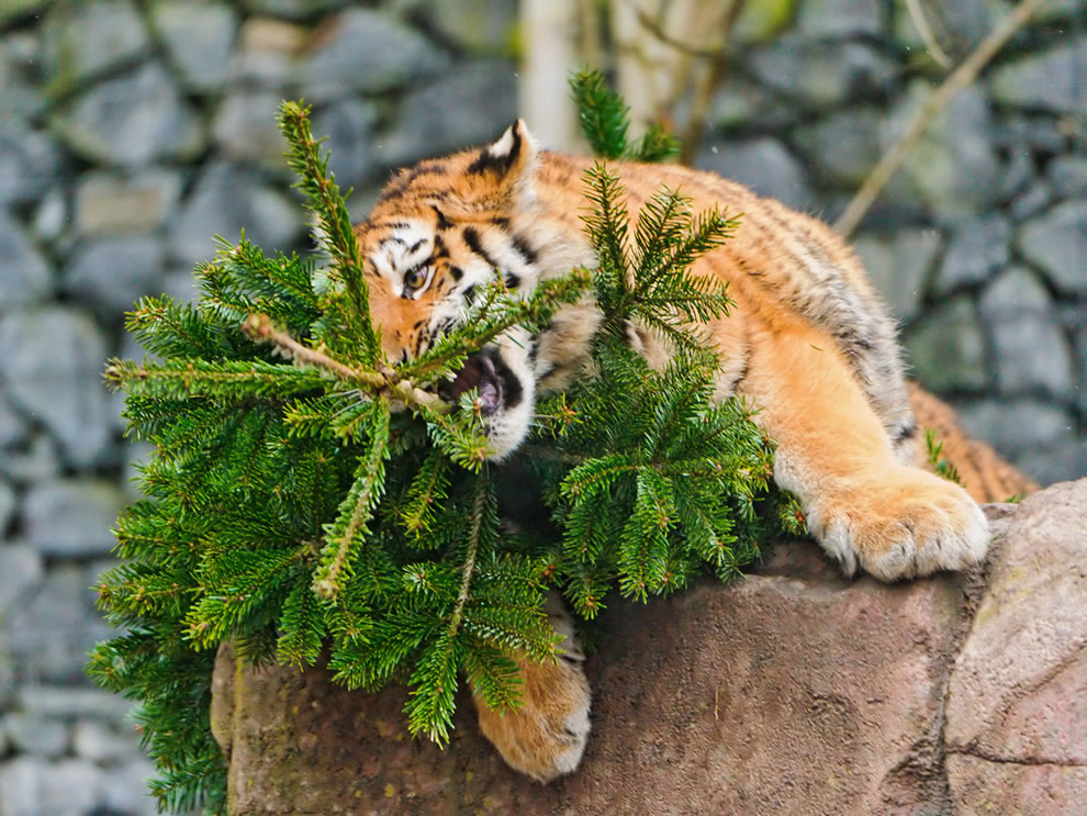 Fun with fur, tiger cub playing with the Christmas tree