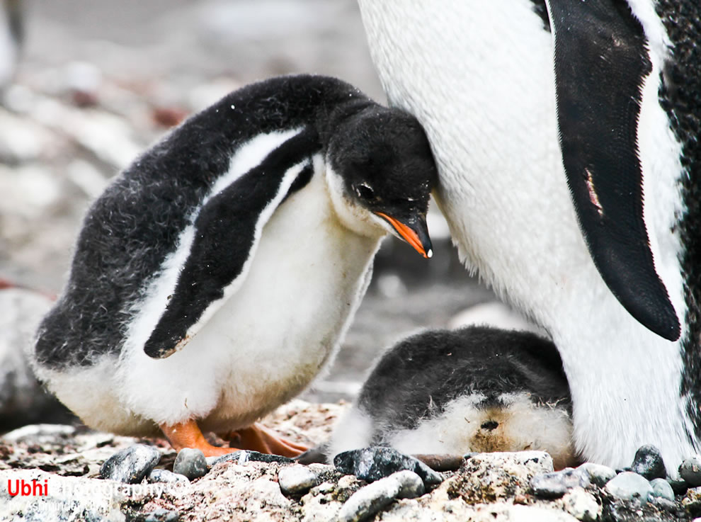 Gentoo penguin baby