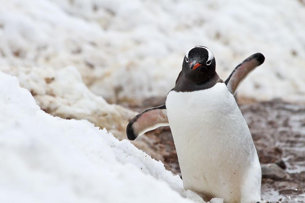 Gentoo penguin trying to keep balance - Antarctica