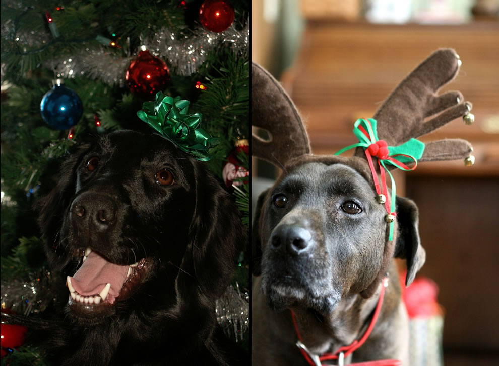 Happy Dogs loving their owners at Christmas