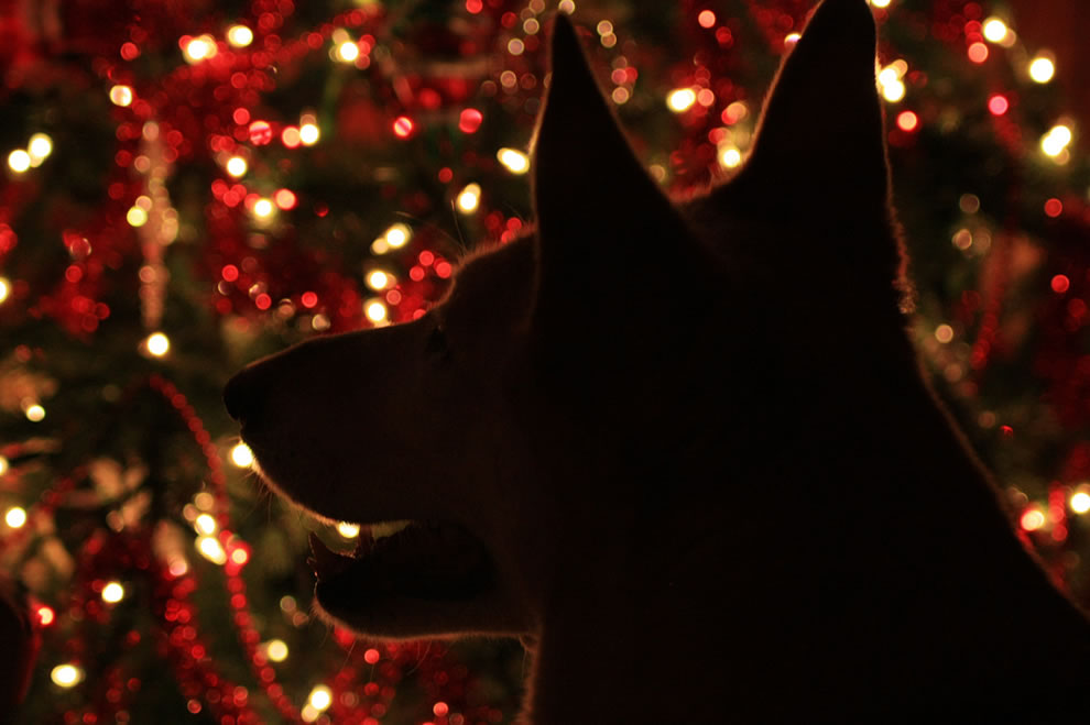 Happy dog waiting for presents in the glow of Christmas tree lights