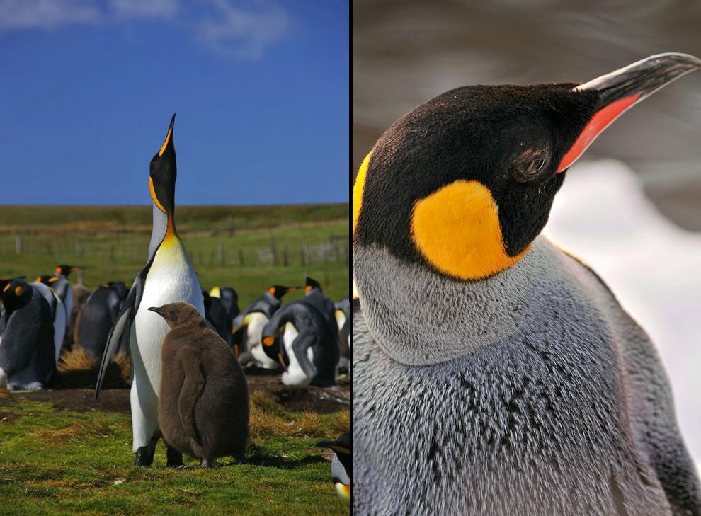 King Penguins at West Falkland & King penguin in Zurich, Switzerland