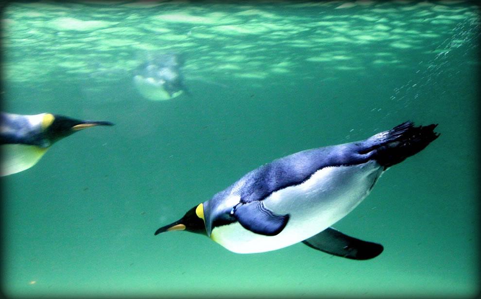 King penguin at Melbourne Aquarium - in flight underwater