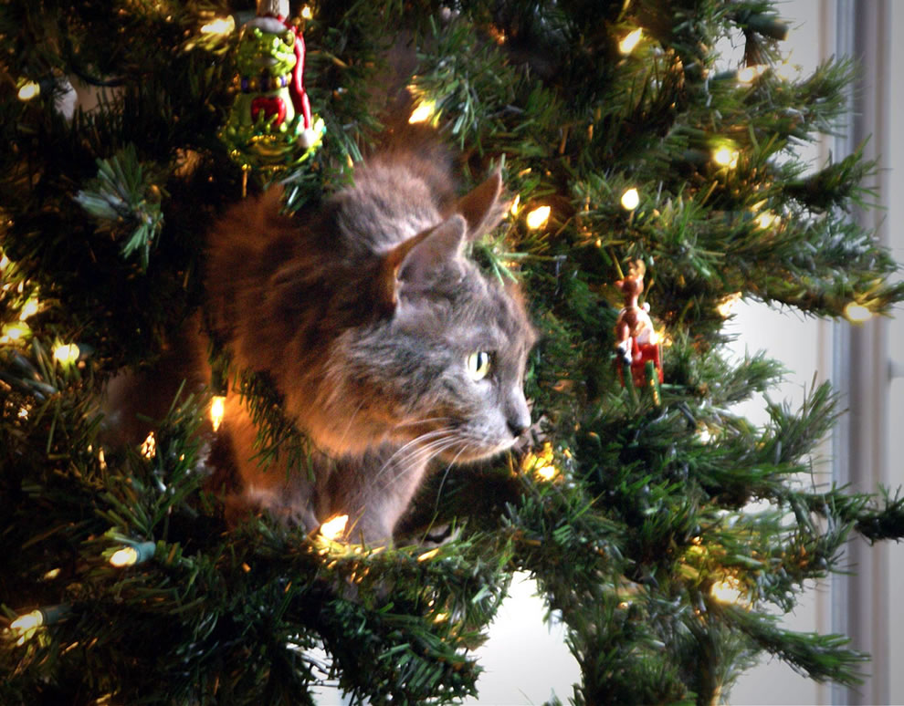 Living Christmas Tree Ornament  Climbing the Christmas tree is one of Cosmo's greatest joys in life.