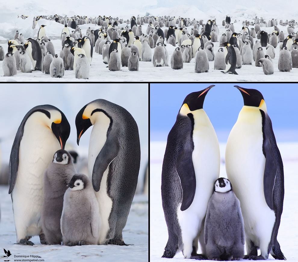 Loving Emperor penguin families