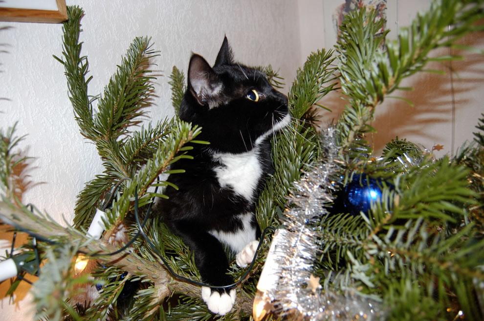 Mirjam's looking guilty, kitty in Christmas tree