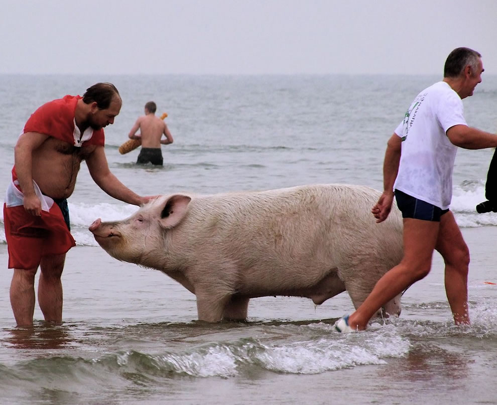 Pig escapes cooking pot by taking part in polar bear swim in the Hague