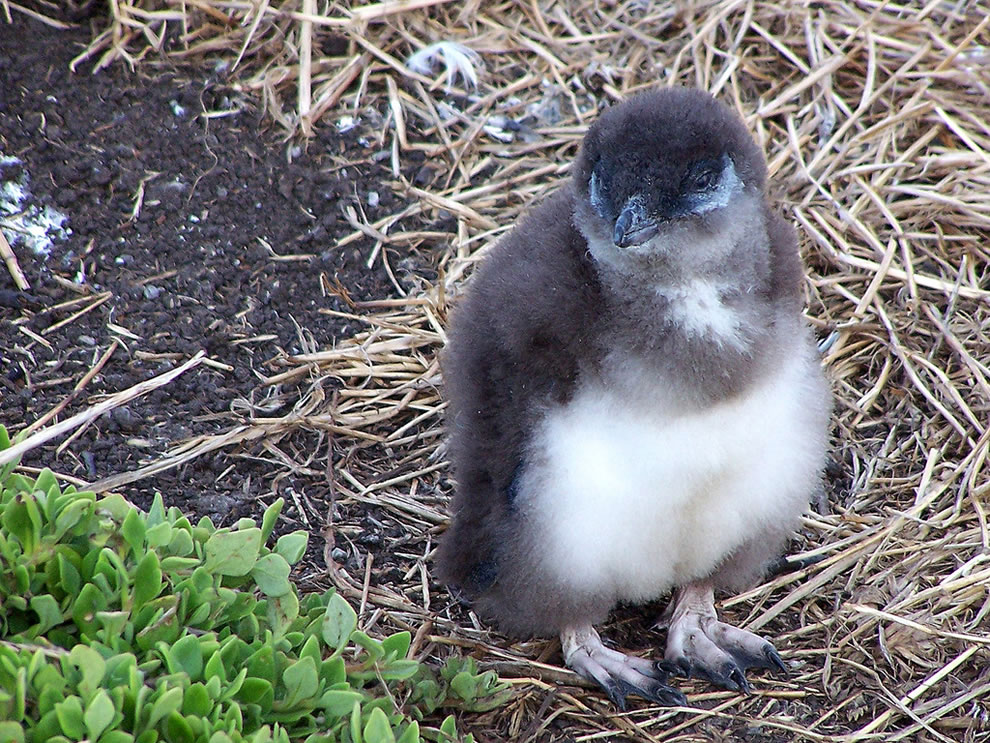 Small and Furry and Hungry Blue Penguin which bit the father of Linux, little Fairy Penguin
