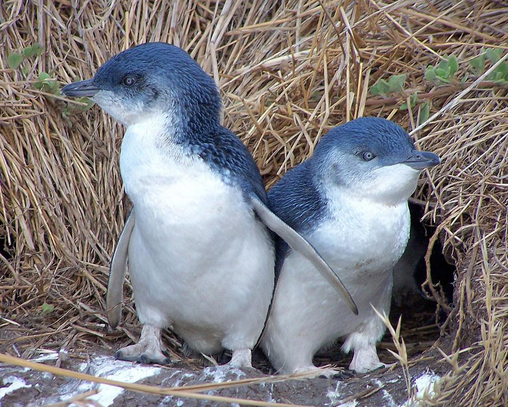 Twin Fairy, or Blue, little penguins