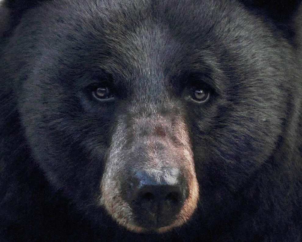 Wild black bear of Yellowstone National Park
