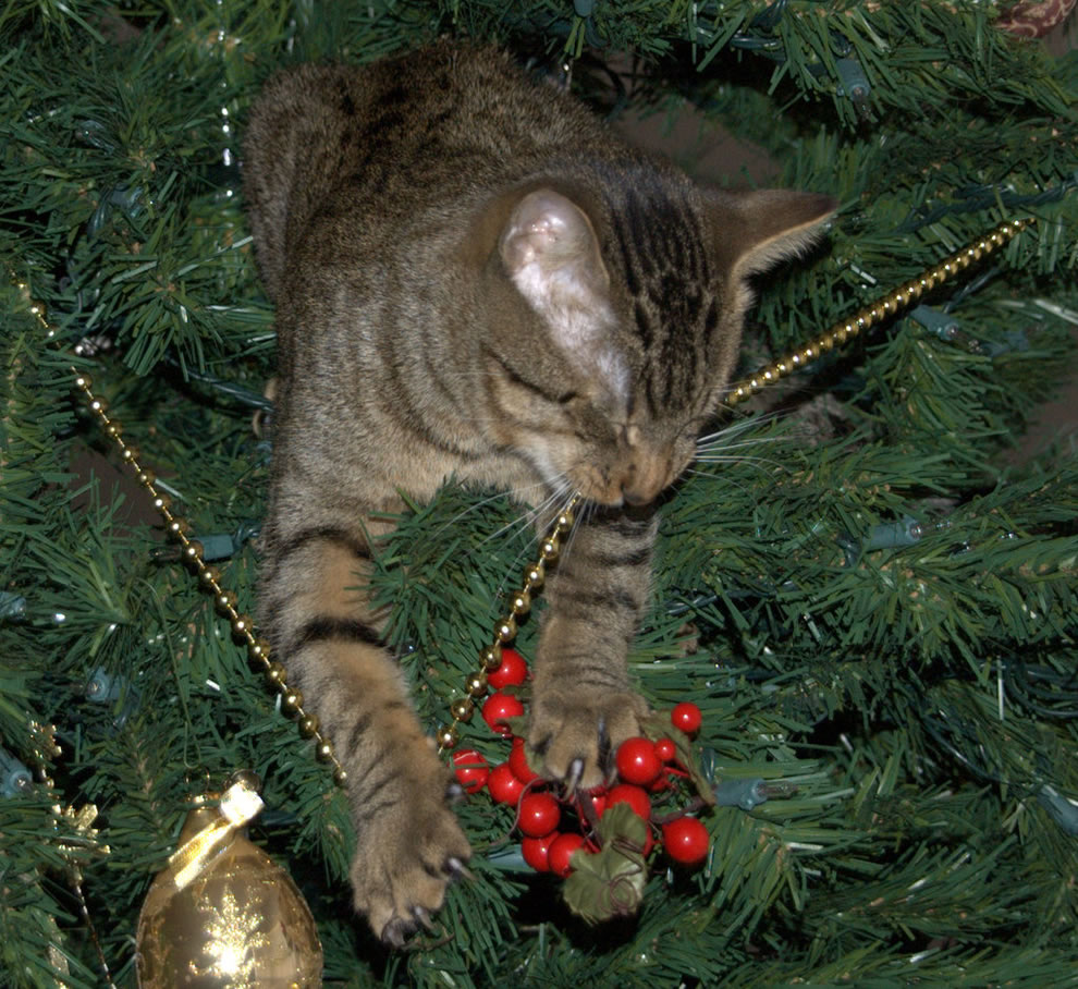 Willie Cat helping take down the Christmas Tree
