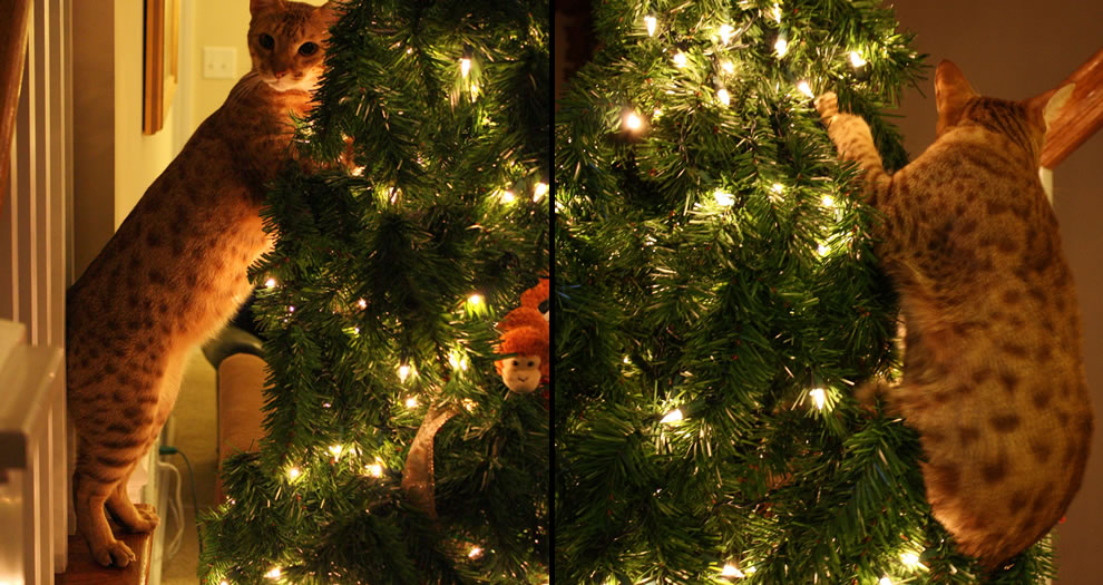 Cat enjoys then climbs the Christmas tree