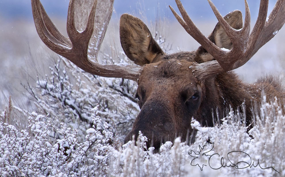 A Moose Hidden in the Snow