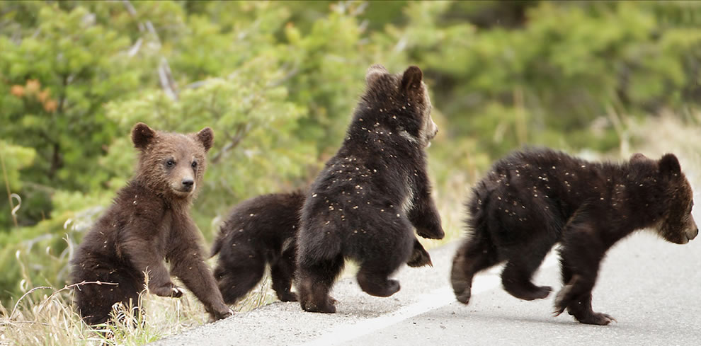 A momma grizzly up near Mammoth Hot Springs has four cubs this year. It is rare for a grizz to have so many - this is only the 3rd time in park history that this has been documented