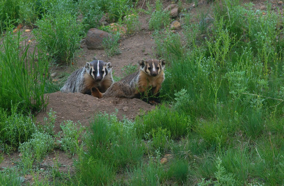 American Badgers at Yellowstone National Park