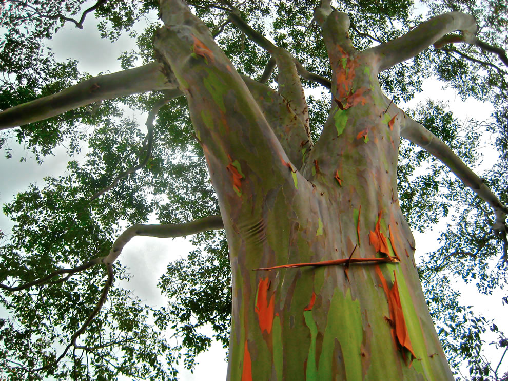 Eucalyptus deglupta is a huge evergreen tree of up to 60 - 75 m tall; 50-70% of the tree height, up to 240 cm in diameter, sometimes with buttresses 3-4 m high; bark smooth, yellow, brown, and purple, but green after flaking