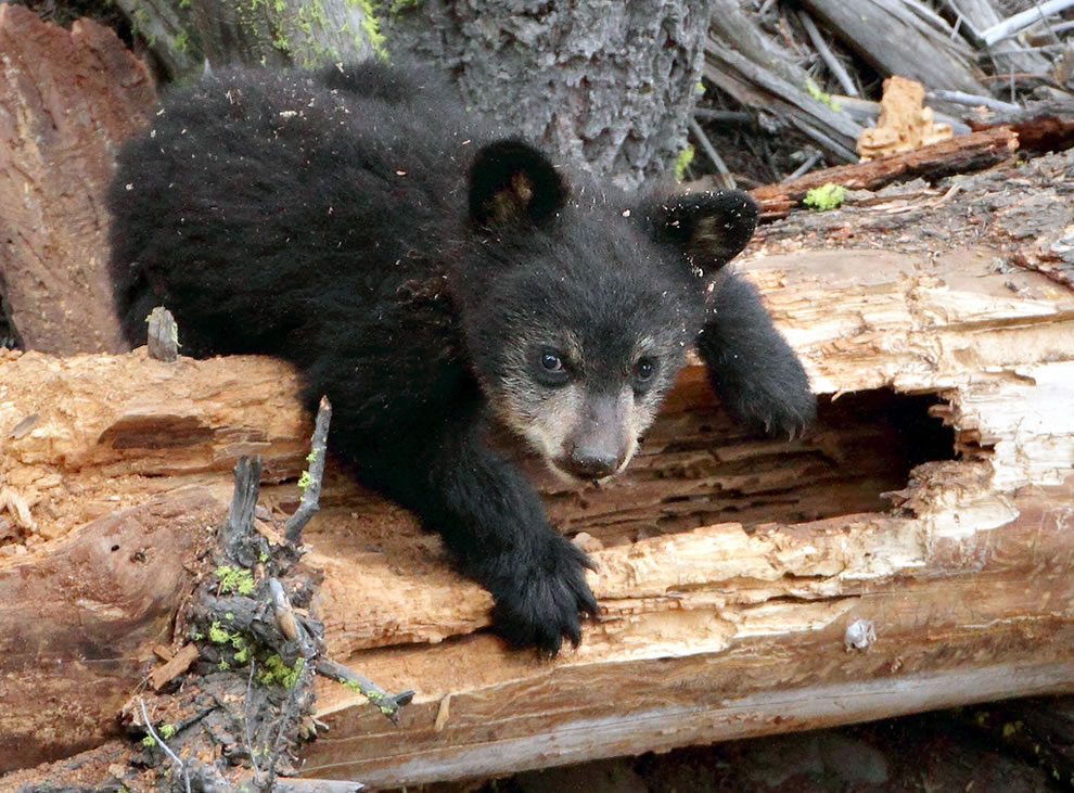 Black bear cub digging into the old log for grubs and ants at Yellowstone