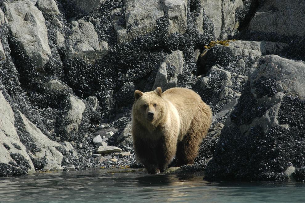 Brown bear at water