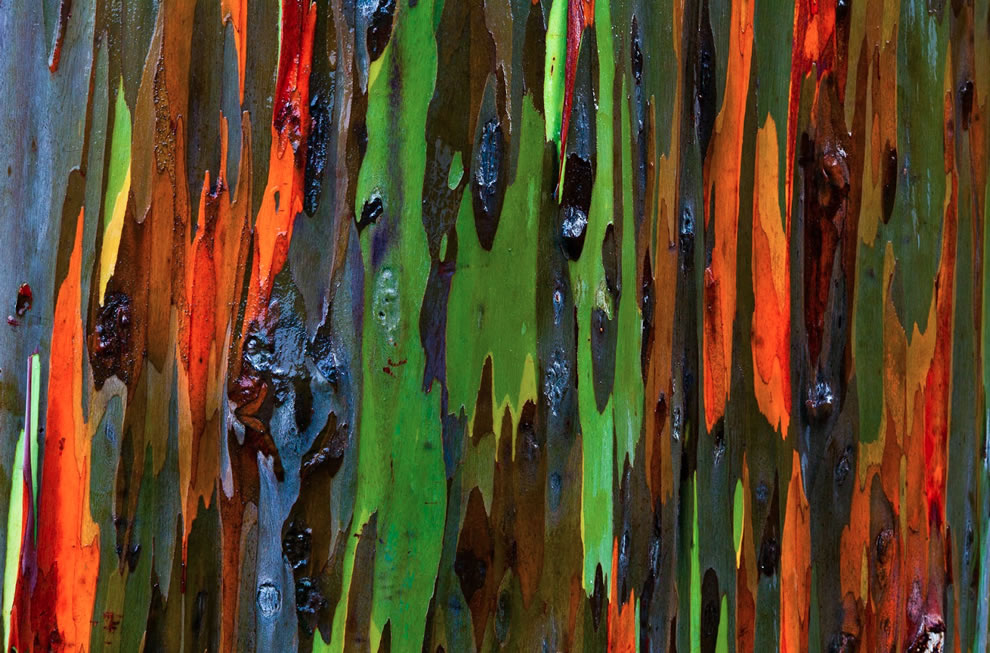 Closeup of amazing wet bark of Rainbow Eucalyptus at the Keahua Arboretum