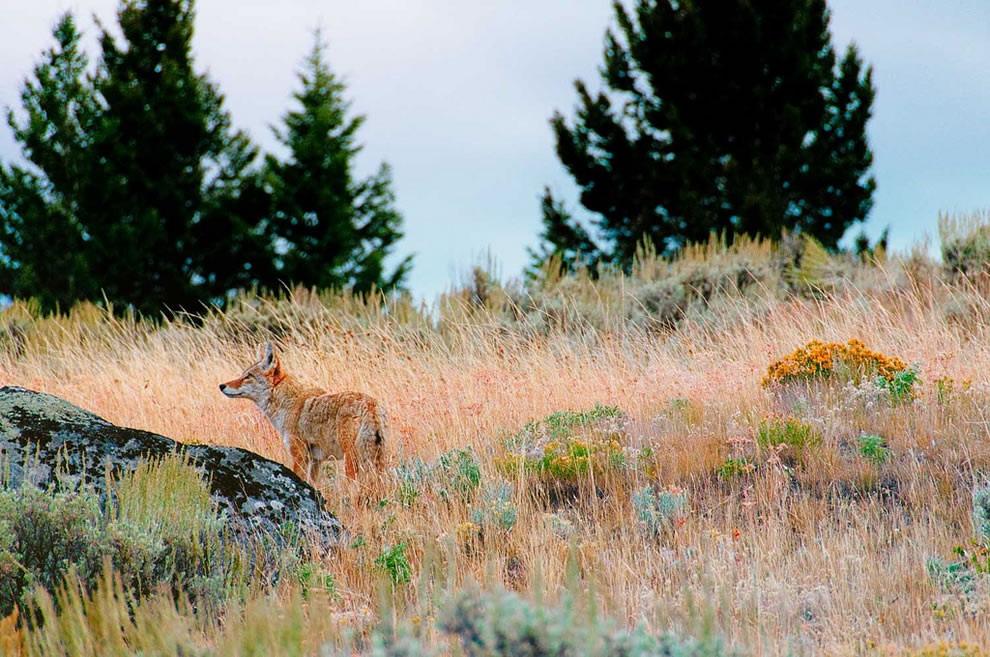 Coyote in the beauty of Yellowstone National Park