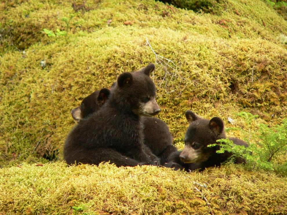 First year black bear cubs at Glacier Bay National Park and Preserve