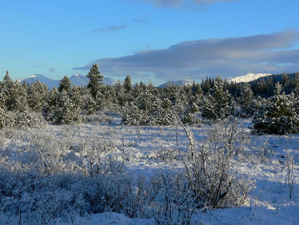 Fresh snow on lodgepole pine trees, Glacier National Park & Preserve