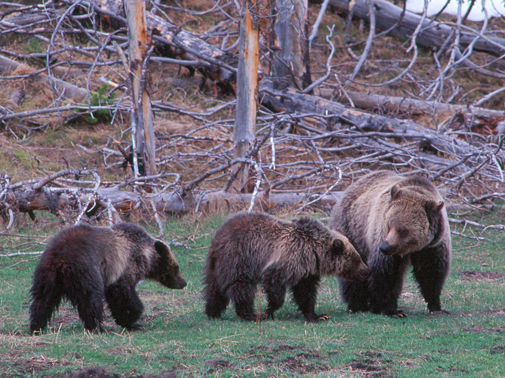Grizzly Bear Family in Yellowstone