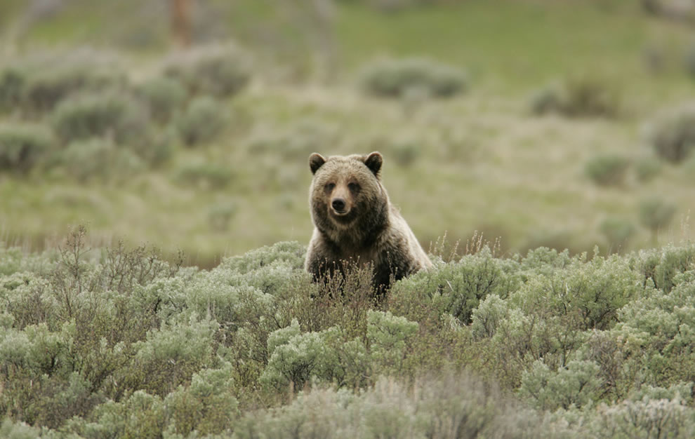 Grizzly bear on Swan Lake Flats, wildlife in Yellowstone National Park