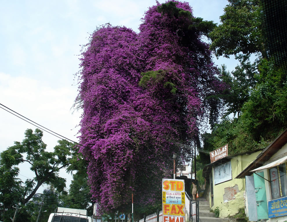 Heart-shaped flowering tree, Himalayan travels