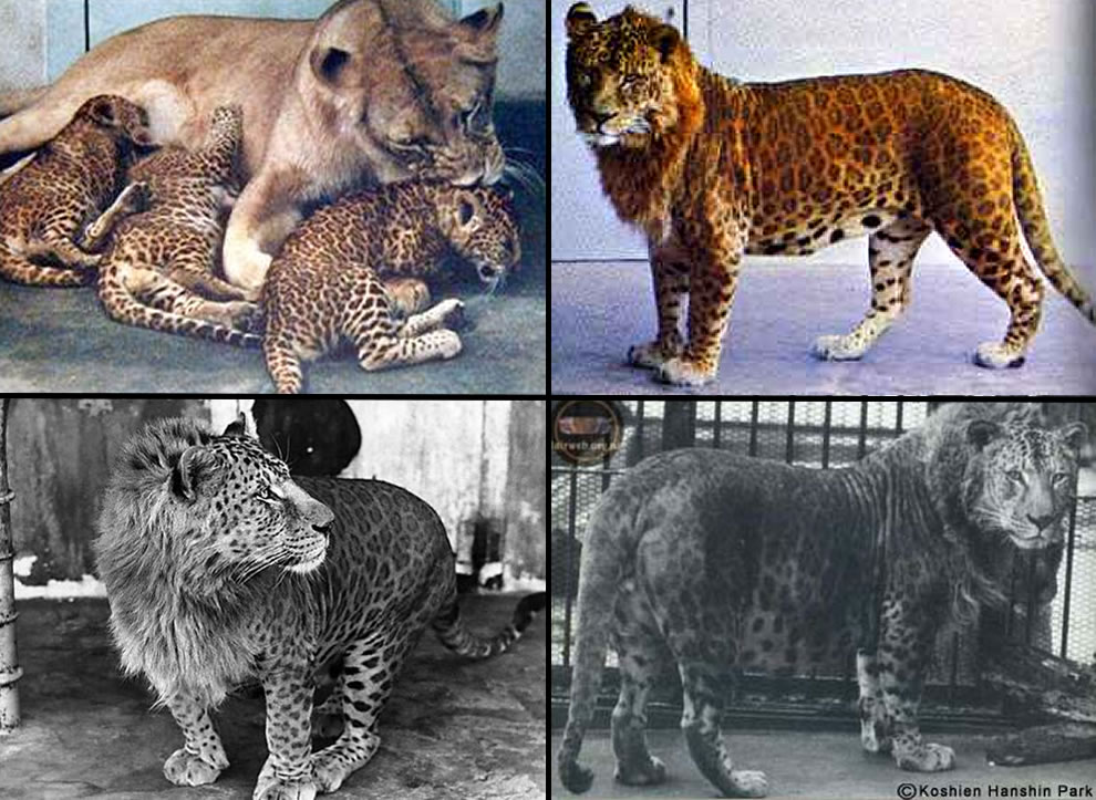 Leopon hybrid from male leopard with female lion