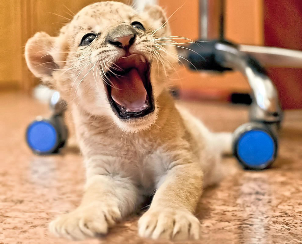 Liliger is the offspring of a liger mother and a lion father