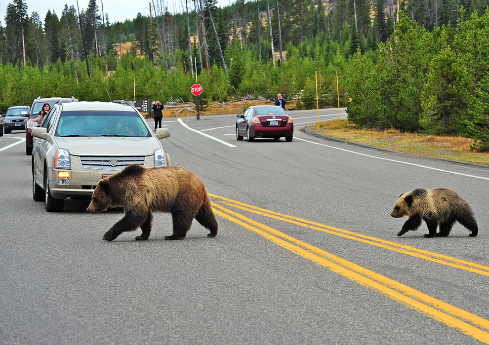 Mama and cubs stop traffic at yellowstone
