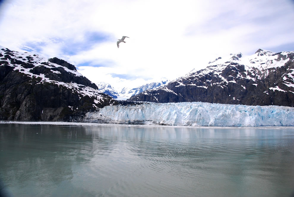 Margerie Glacier and gull