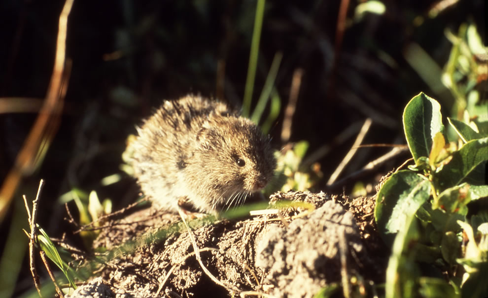 Meadow vole at Yellowstone