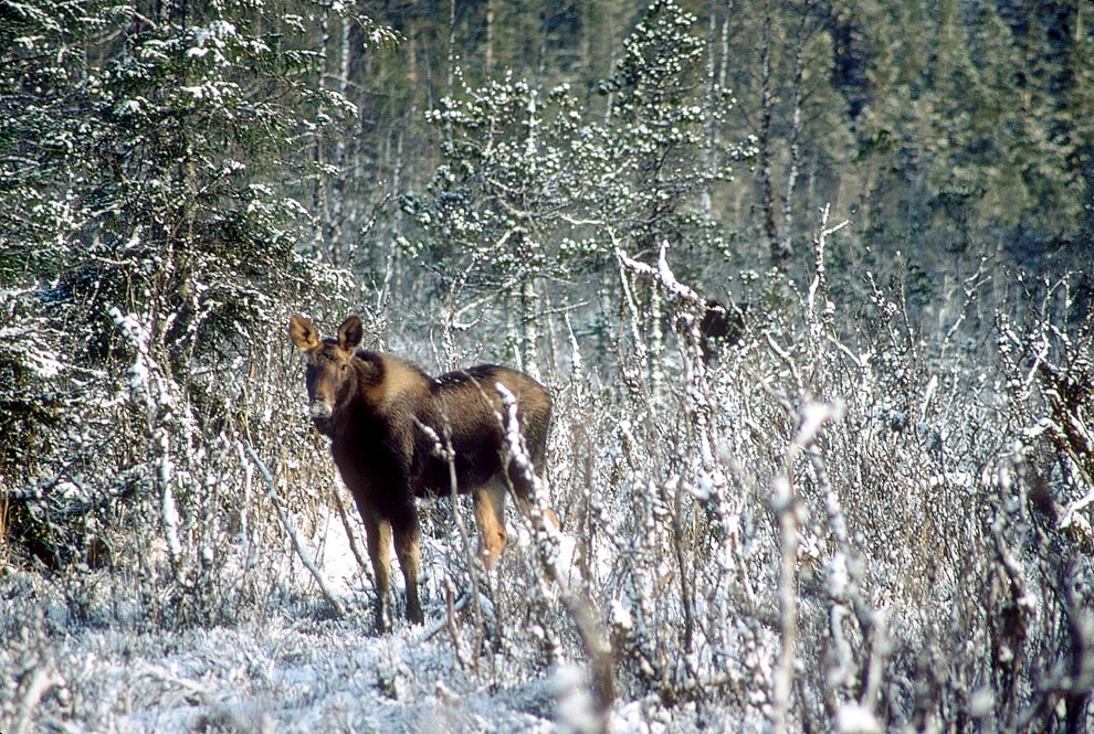 Moose at Glacier National Park & Preserve